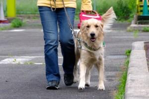 ゴールデンレトリバー 盲導犬