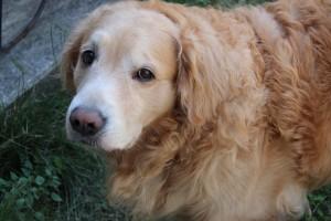 ゴールデンレトリバー愛犬レオ