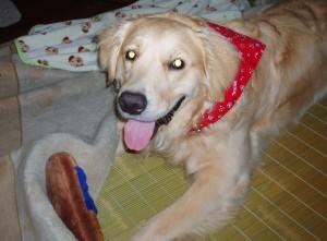 ゴールデンレトリバー愛犬レオ 1歳