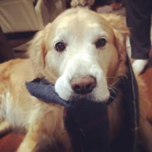 ゴールデンレトリバー愛犬レオ マフラー巻いてみた