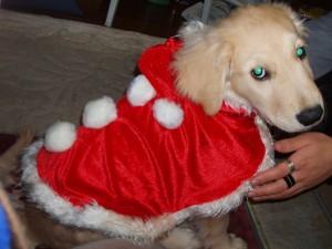 ゴールデンレトリバー 愛犬レオサンタ 子犬