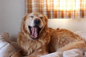 ゴールデンレトリバー愛犬レオ あくび