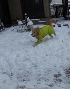 ゴールデンレトリバー 愛犬レオ 雪ではしゃぐ