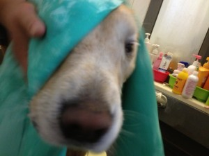 ゴールデンレトリバー 愛犬レオ お風呂大好き