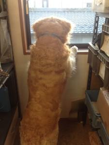 ゴールデンレトリバー 愛犬レオ クルクル天然パーマ