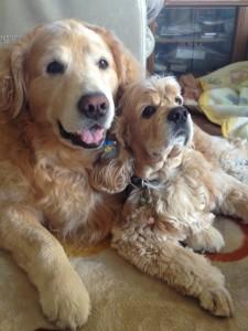 ゴールデンレトリバー愛犬レオとアメコカ愛犬ココ
