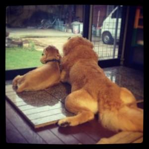 ゴールデンレトリバー愛犬レオとアメコカ愛犬ココ 寄り添う