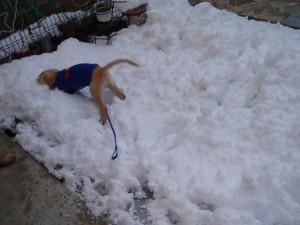 ゴールデンレトリバー愛犬レオ 雪ではしゃぐ