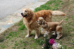 ゴールデンレトリバー 愛犬レオと アメリカンコッカー愛犬ココ