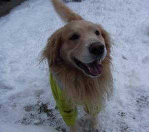 ゴールデンレトリバー 愛犬レオ 雪遊び