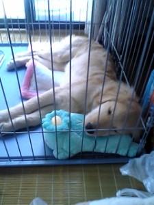 ゴールデンレトリバー愛犬レオ ハウス