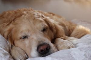 ゴールデンレトリバー愛犬レオ 寝顔