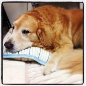 ゴールデンレトリバー 愛犬レオ 老犬