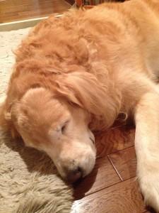 ゴールデンレトリバー 愛犬レオ
