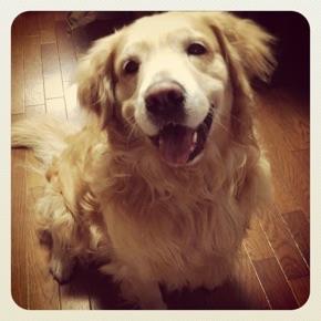 ゴールデンレトリバー 愛犬レオ 笑顔