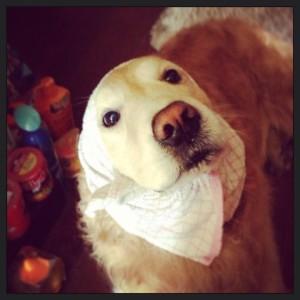 ゴールデンレトリバー愛犬レオ どじょうすくい