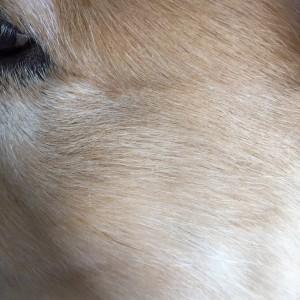 ゴールデンレトリバー愛犬レオ 黒い毛