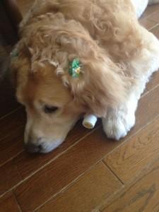 ゴールデンレトリバー 愛犬レオ 熱中症対策